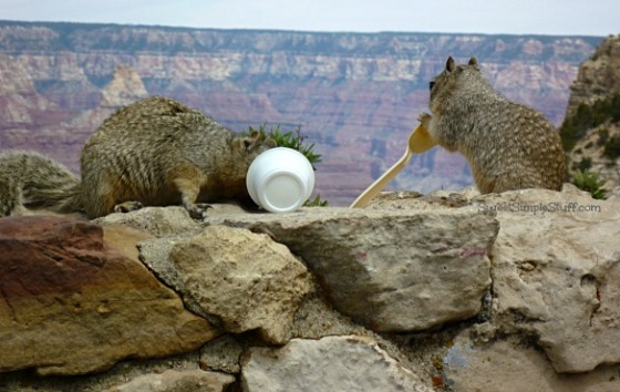 Grand Canyon Squirrels